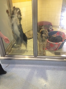 The dogs in the Rehoming Centre are very well looked after- as well as temperature-controlled rooms, the dogs are well groomed and have at least one long walk a day